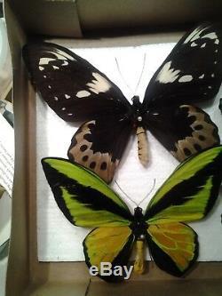 Ornithoptera Goliath Samson- Three (3) Pairs A1 Unmounted M & F Arfak Mts