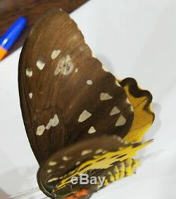 Ornithoptera chimaera chimaera (pair, A2), Papua New Guinea, rare, butterfly
