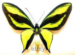 Ornithoptera paradisea male. Papua New Guinea. VERY RARE