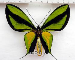 Ornithoptera paradisea ssp. Borchi, Papua New Guinea, very rare! 430