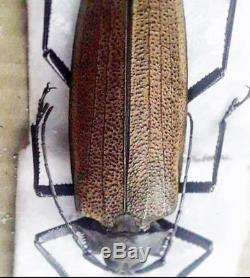 Prioninae Xixuthrus granulipennis Super Rare A1 female 97mm+ Papua New Guinea